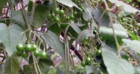 Solanum Lyratum